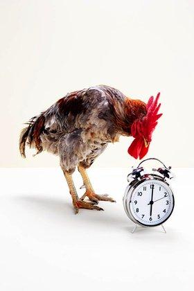Rooster standing near alarm clock, studio shot